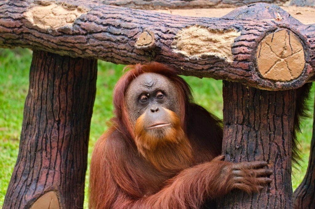 Gorillas-sing-during-supper
